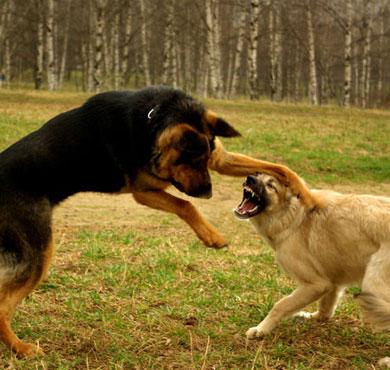 2 собаки дерутся