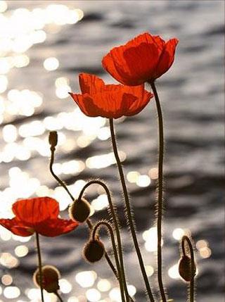 3 цветка мака