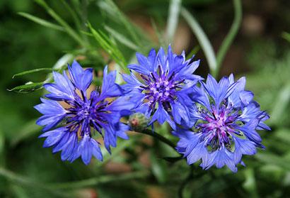 3 цветка василька