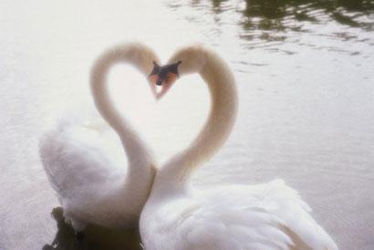 Лебеди сделали сердечко