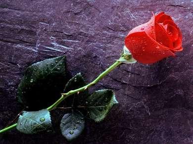 Алая роза лежит на полу
