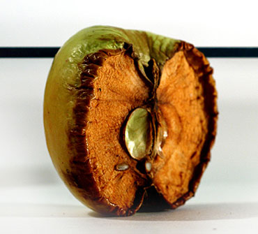 Засохшее яблоко