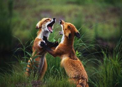 Два лиса дерутся