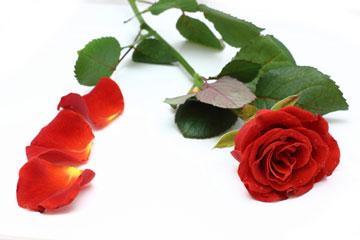 Лепестки роз и красная роза