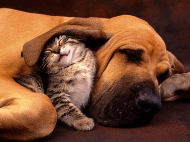 Котенок спит под ухом мастифа