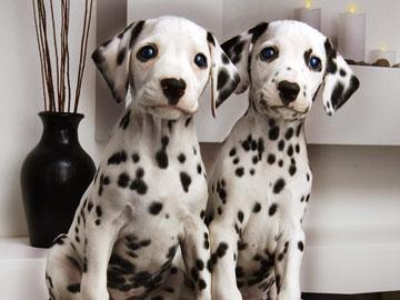 Два щенка далматинца