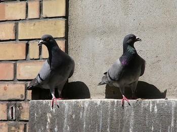 два голубя на окне