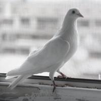 Если голубь сел на Ваш подоконник…