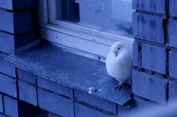 белый голубь на подоконнике