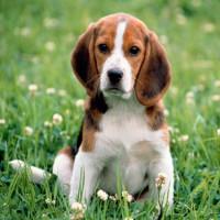 Как подходят друг другу собака-собака?