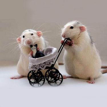 Как подходят друг другу крыса-крыса?