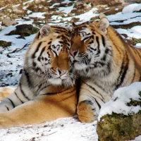 Как подходят другу тигр-тигр?