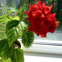 Что таит в себе китайская роза?