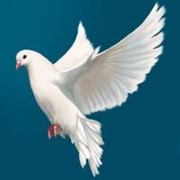Если голубь стучится в Ваше окно…