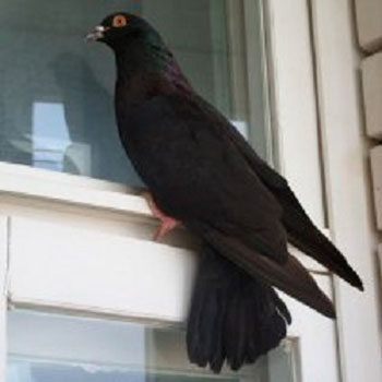 Черный голубь стучится в окно