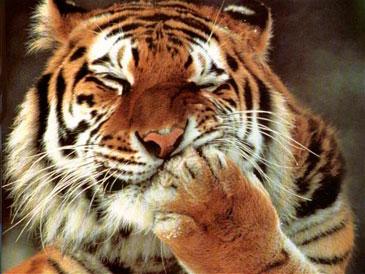 Тигр закрывается лапой