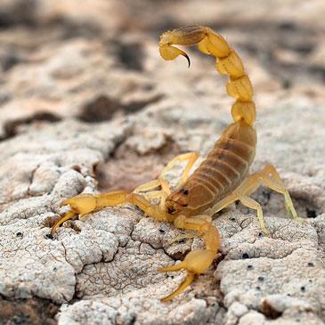 Желтый скорпион