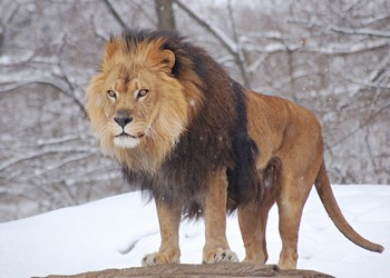 Лев зимой