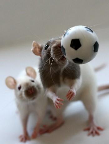 Две крысы и маленький мячик