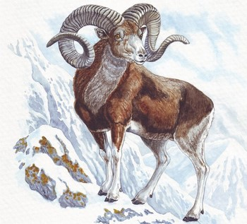 Горный баран зимой