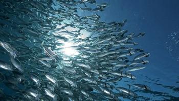 Косяк рыб в море