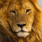 Кому подходит Лев?