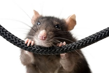 Крыса грызет шнурок