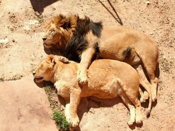Лев обнимает львицу