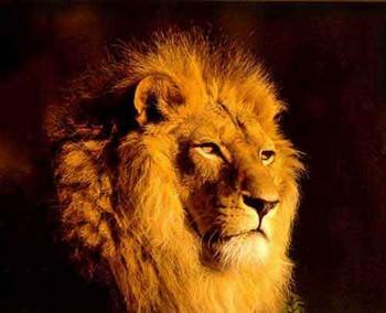 Лев смотрит вдаль