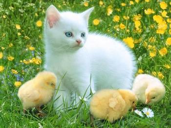 Белый котенок и цыплята