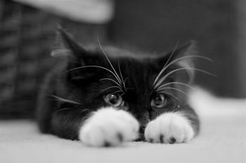 Чернобелый кот