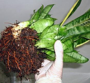 Сансевиерия с корнями в руке