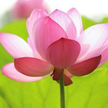 Техника медитации «Цветок Лотоса»